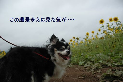 ひまわり娘@2012 008.JPG