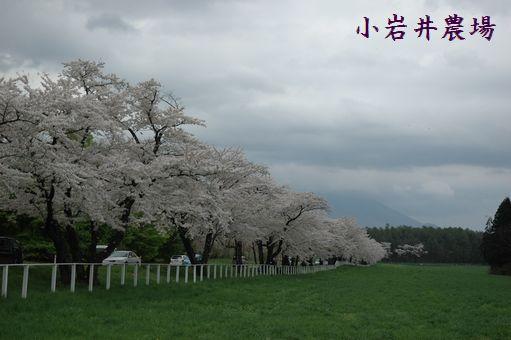 桜求めて~小岩井へ 068.JPG