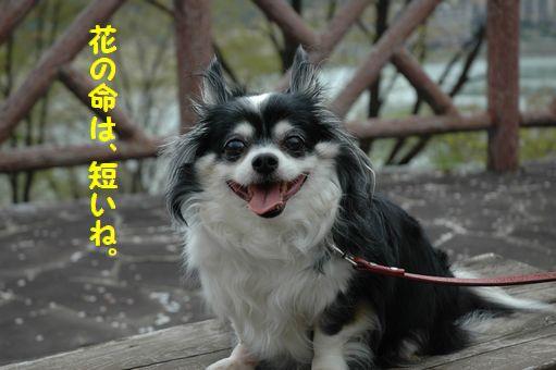 桜求めて~小岩井へ 125.JPG