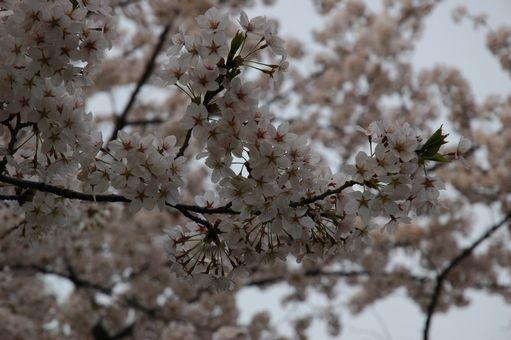 G.W&桜@2012 066.JPG